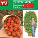 Giant Tree Tomato